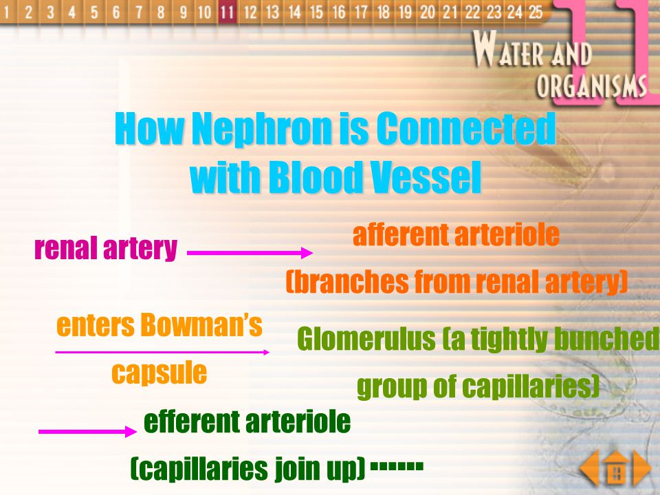 …... How Nephron is Connected with Blood Vessel