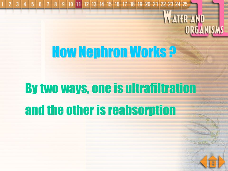 How Nephron Works By two ways, one is ultrafiltration and the other is reabsorption