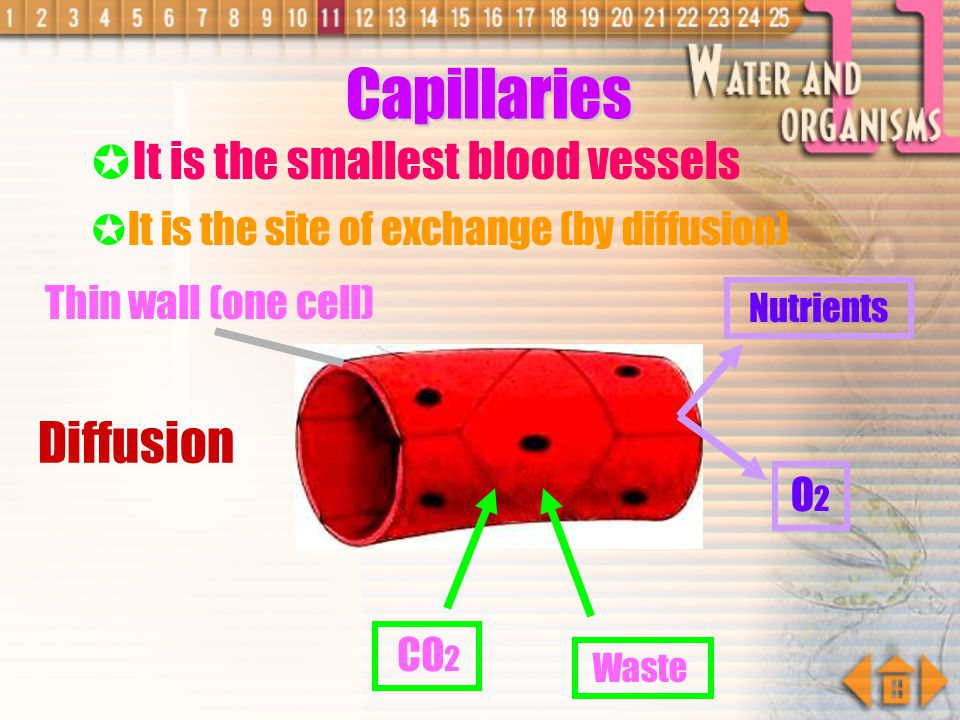 Capillaries Diffusion It is the smallest blood vessels