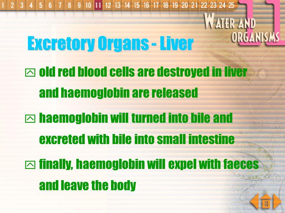 Excretory Organs - Liver