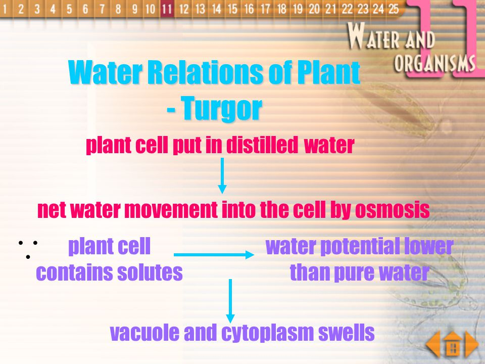  Water Relations of Plant - Turgor plant cell put in distilled water