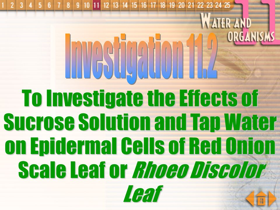 Investigation 11.2 To Investigate the Effects of Sucrose Solution and Tap Water on Epidermal Cells of Red Onion Scale Leaf or Rhoeo Discolor Leaf.