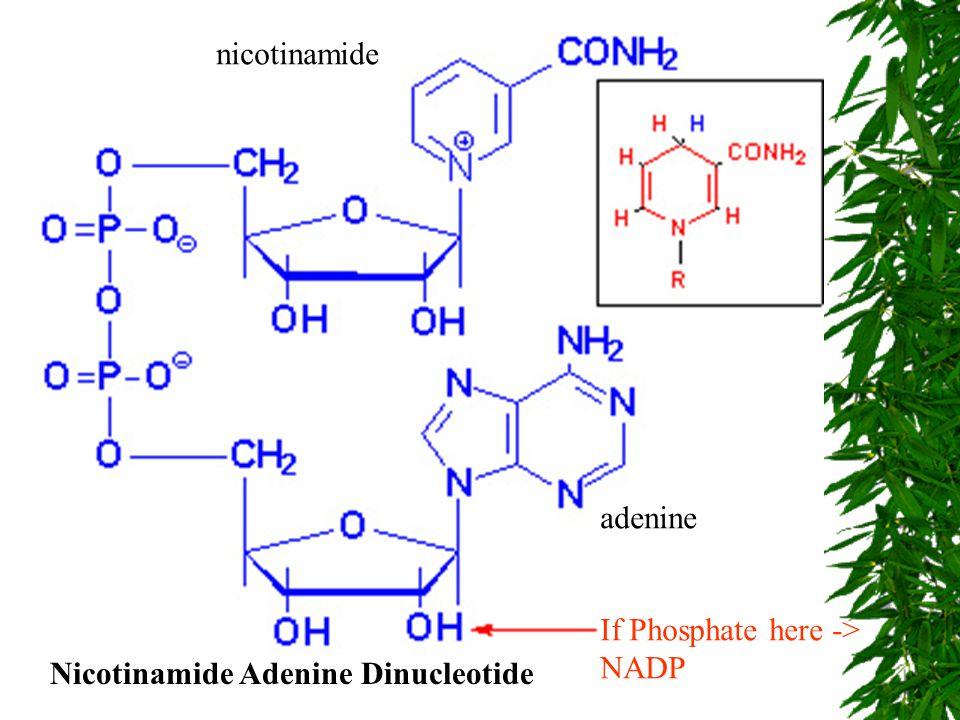 nicotinamide adenine If Phosphate here -> NADP Nicotinamide Adenine Dinucleotide