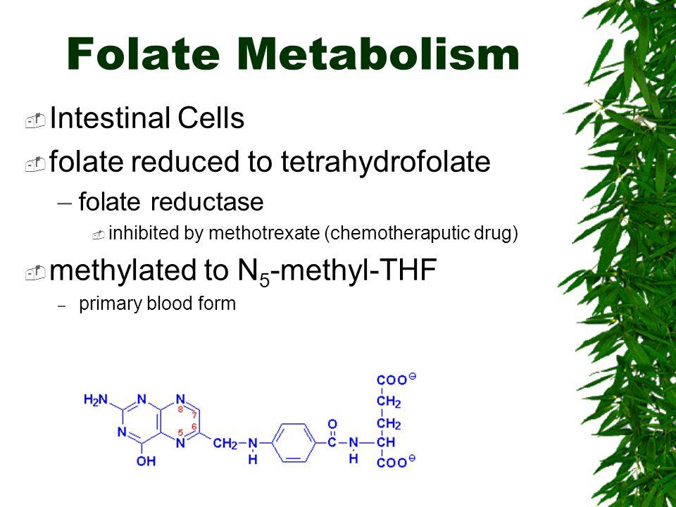 Folate Metabolism Intestinal Cells folate reduced to tetrahydrofolate