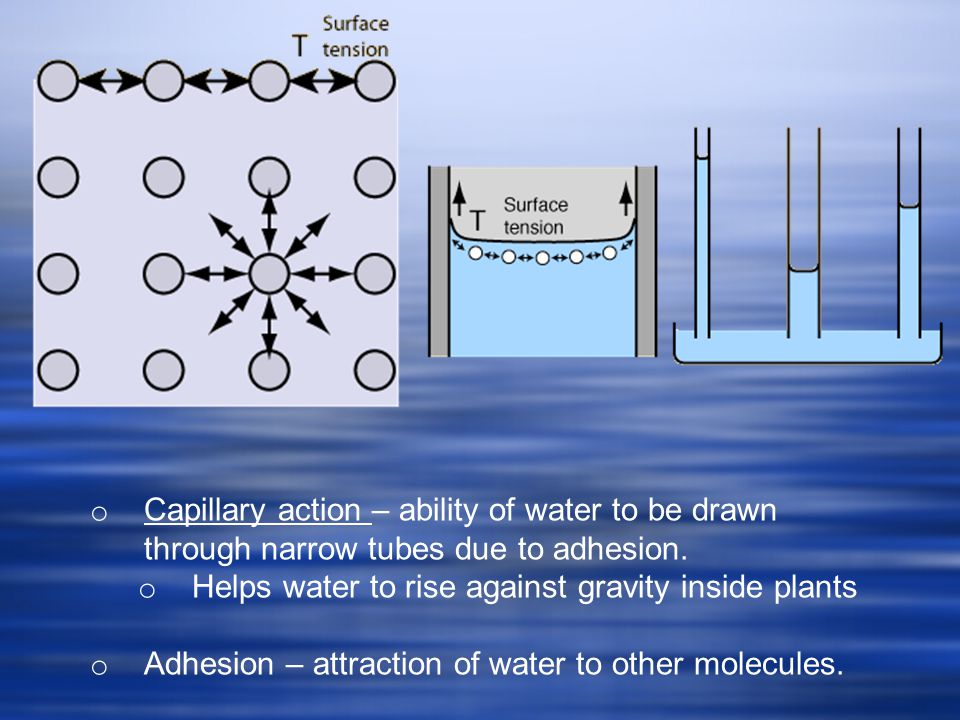 Capillary action – ability of water to be drawn through narrow tubes due to adhesion.