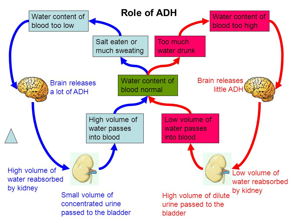 Role of ADH Water content of blood too low
