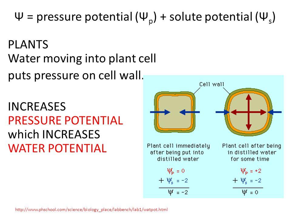 Ψ = pressure potential (Ψp) + solute potential (Ψs)