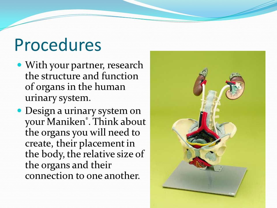 Procedures With your partner, research the structure and function of organs in the human urinary system.