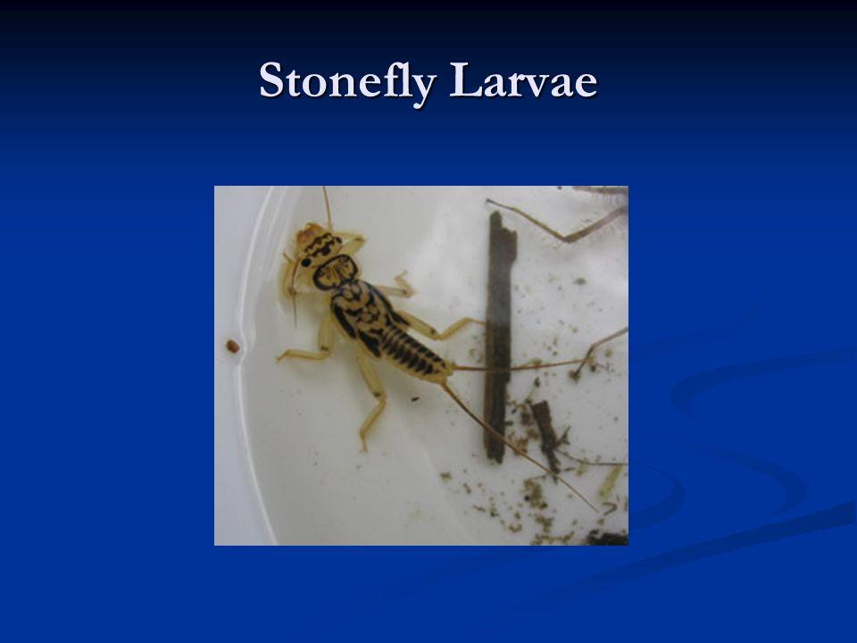 Stonefly Larvae