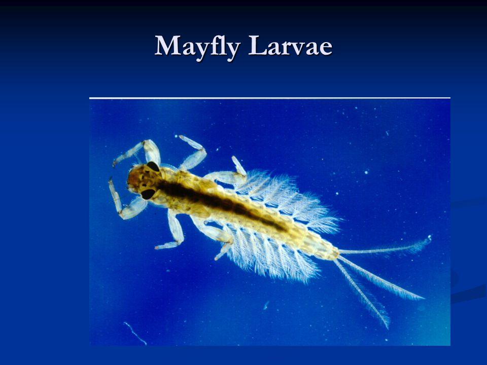 Mayfly Larvae