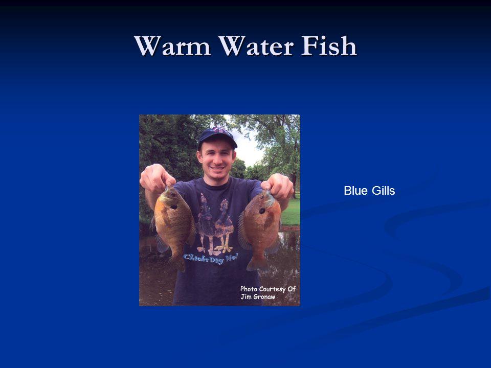 Warm Water Fish Blue Gills