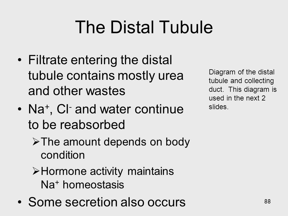 The Distal Tubule Filtrate entering the distal tubule contains mostly urea and other wastes. Na+, Cl- and water continue to be reabsorbed.