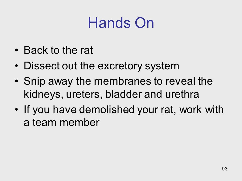 Hands On Back to the rat Dissect out the excretory system