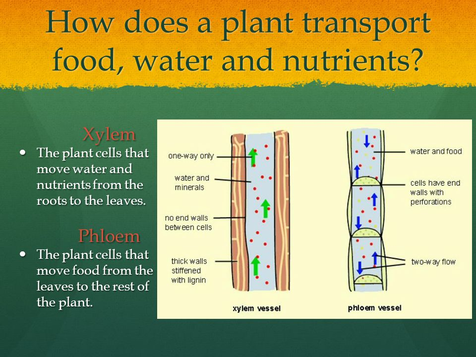 How does a plant transport food, water and nutrients