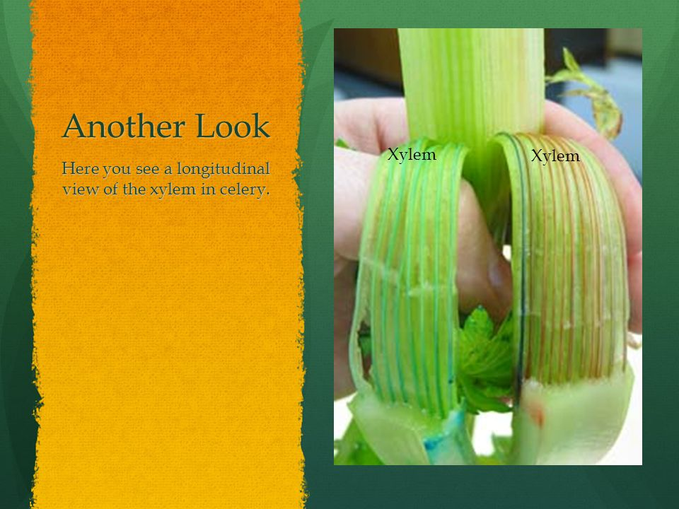 Here you see a longitudinal view of the xylem in celery.