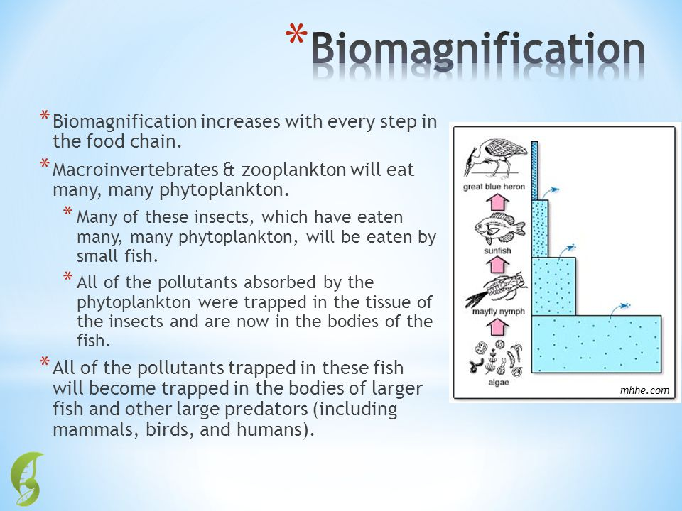 Biomagnification Biomagnification increases with every step in the food chain. Macroinvertebrates & zooplankton will eat many, many phytoplankton.
