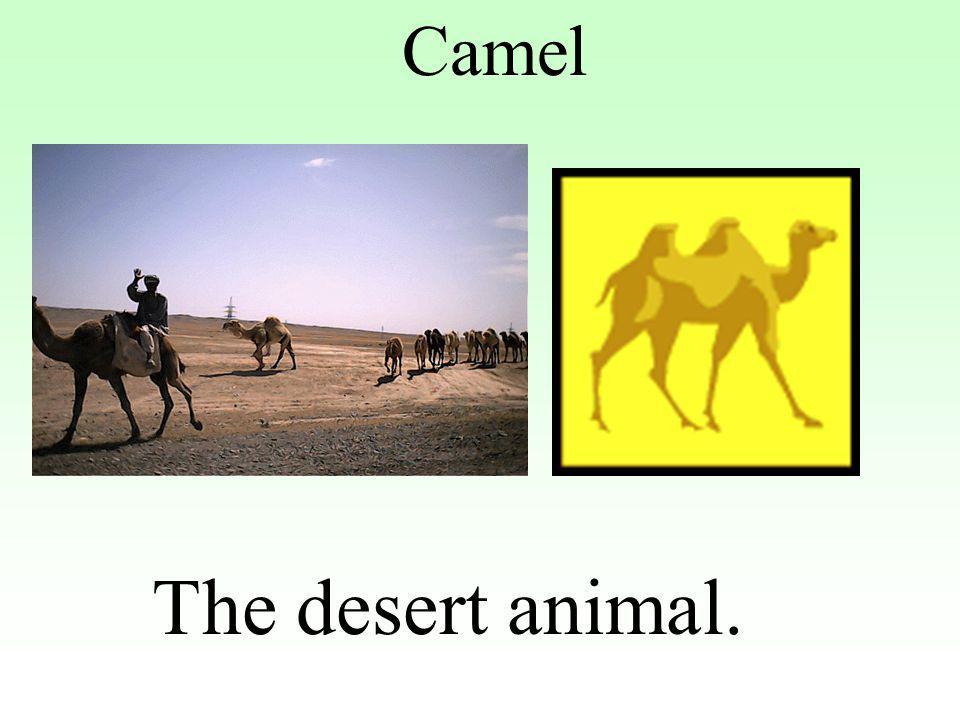 Camel The desert animal.