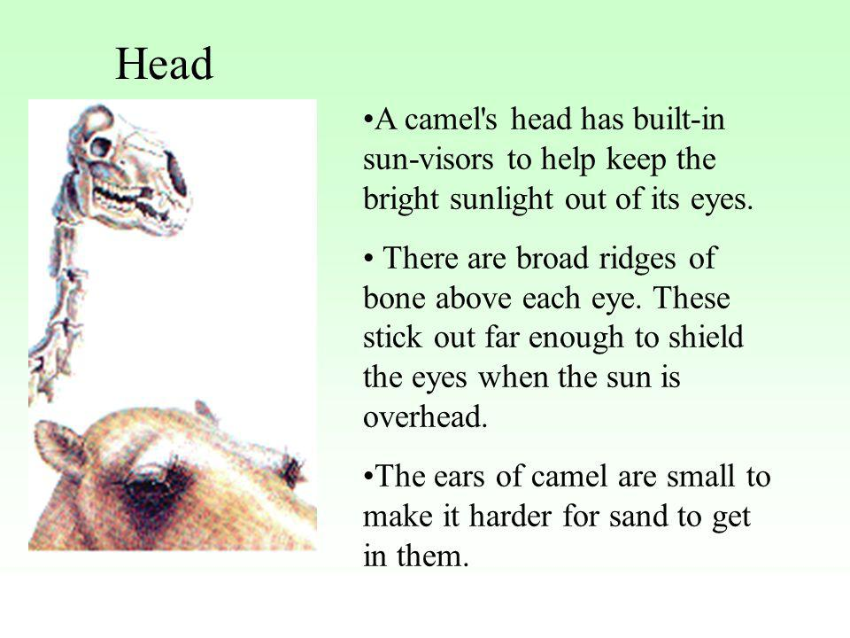 Head A camel s head has built-in sun-visors to help keep the bright sunlight out of its eyes.