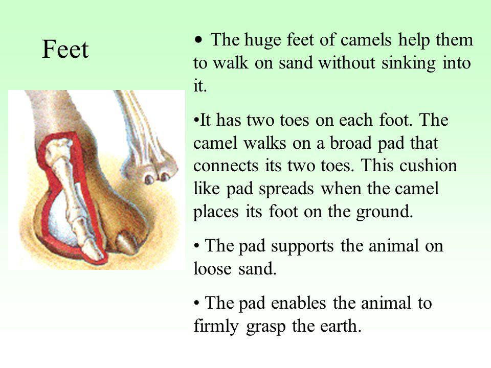 The huge feet of camels help them to walk on sand without sinking into it.