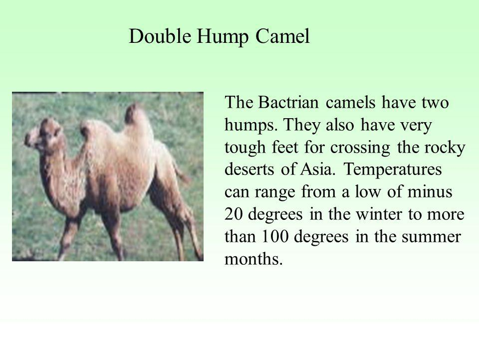 Double Hump Camel