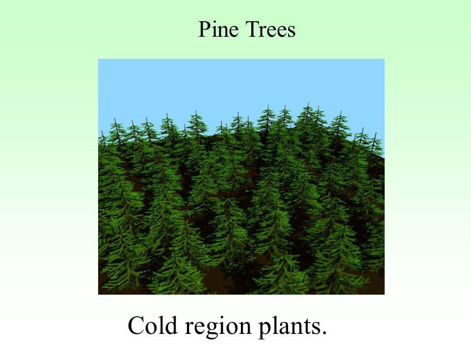 Pine Trees Cold region plants.