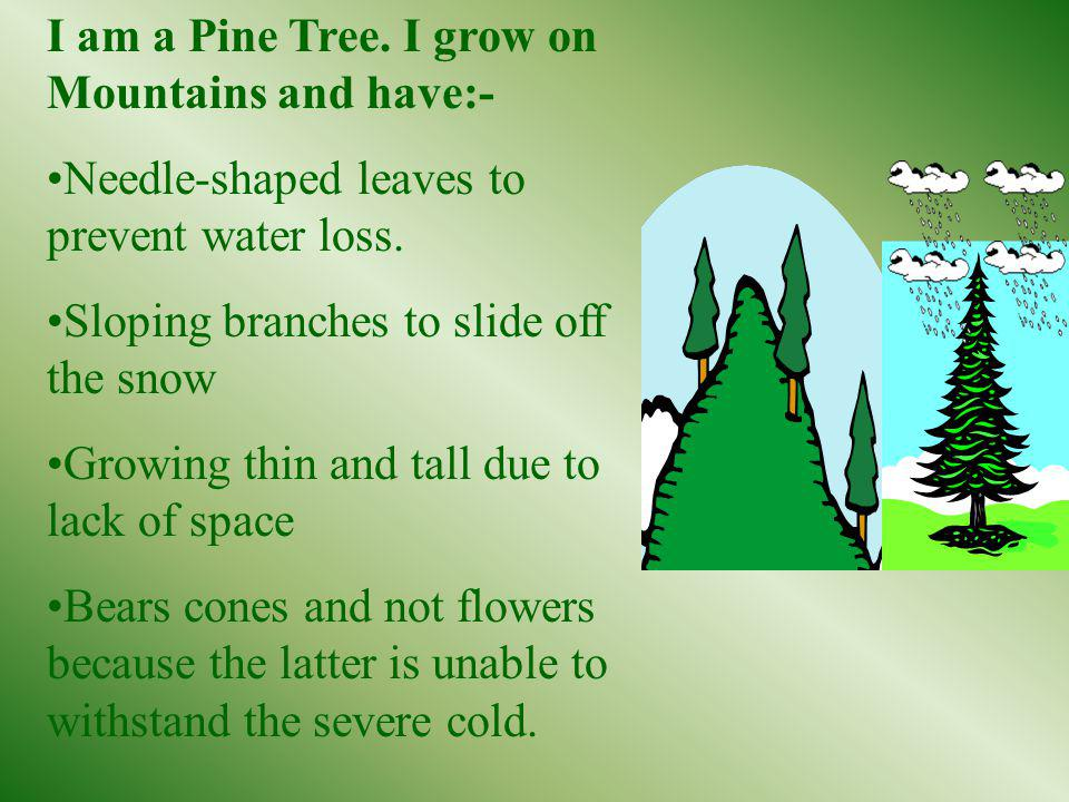 I am a Pine Tree. I grow on Mountains and have:-