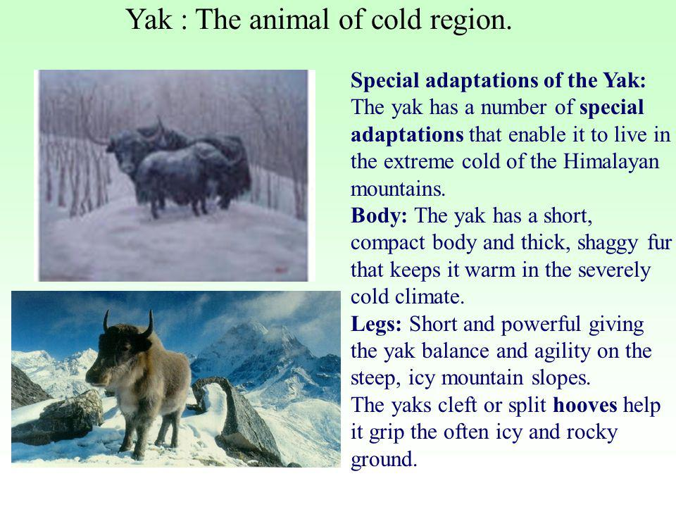 Yak : The animal of cold region.