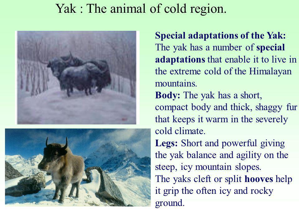 Yak : The animal of cold region.