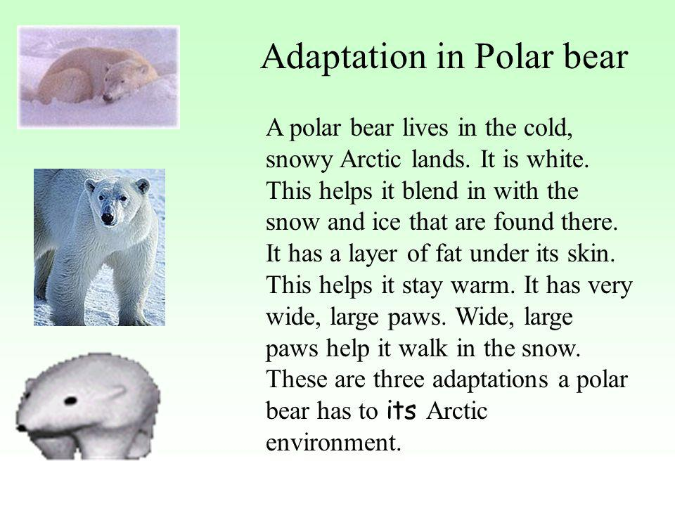 polar bears adapted their environment