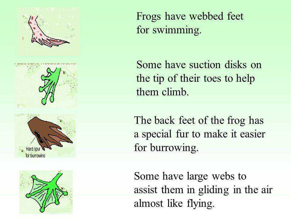 Frogs have webbed feet for swimming.