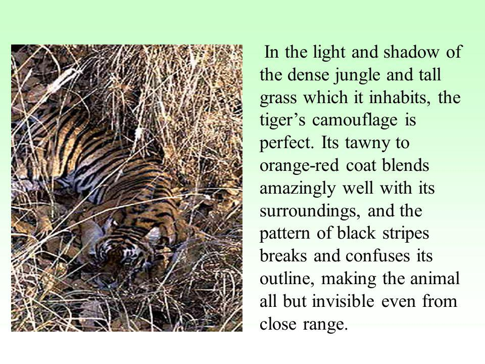 In the light and shadow of the dense jungle and tall grass which it inhabits, the tiger's camouflage is perfect.