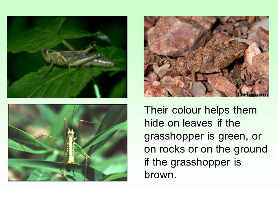 Their colour helps them hide on leaves if the grasshopper is green, or on rocks or on the ground if the grasshopper is brown.