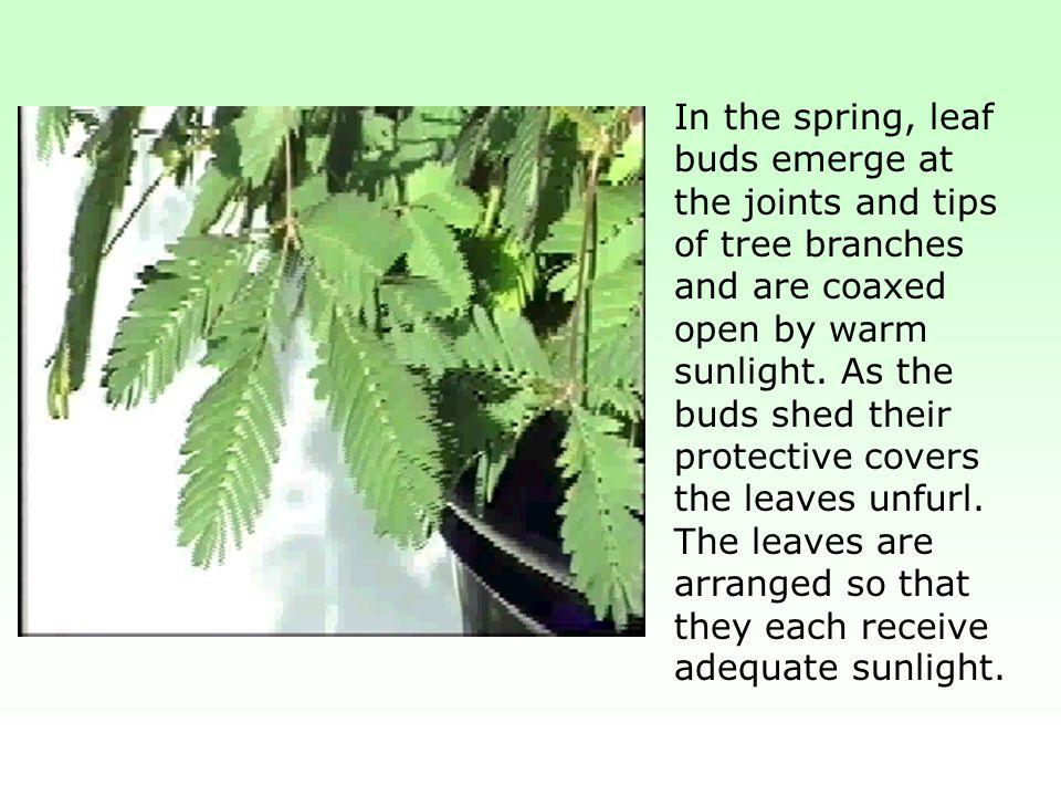 In the spring, leaf buds emerge at the joints and tips of tree branches and are coaxed open by warm sunlight.
