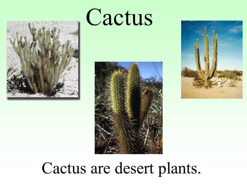 Cactus are desert plants.