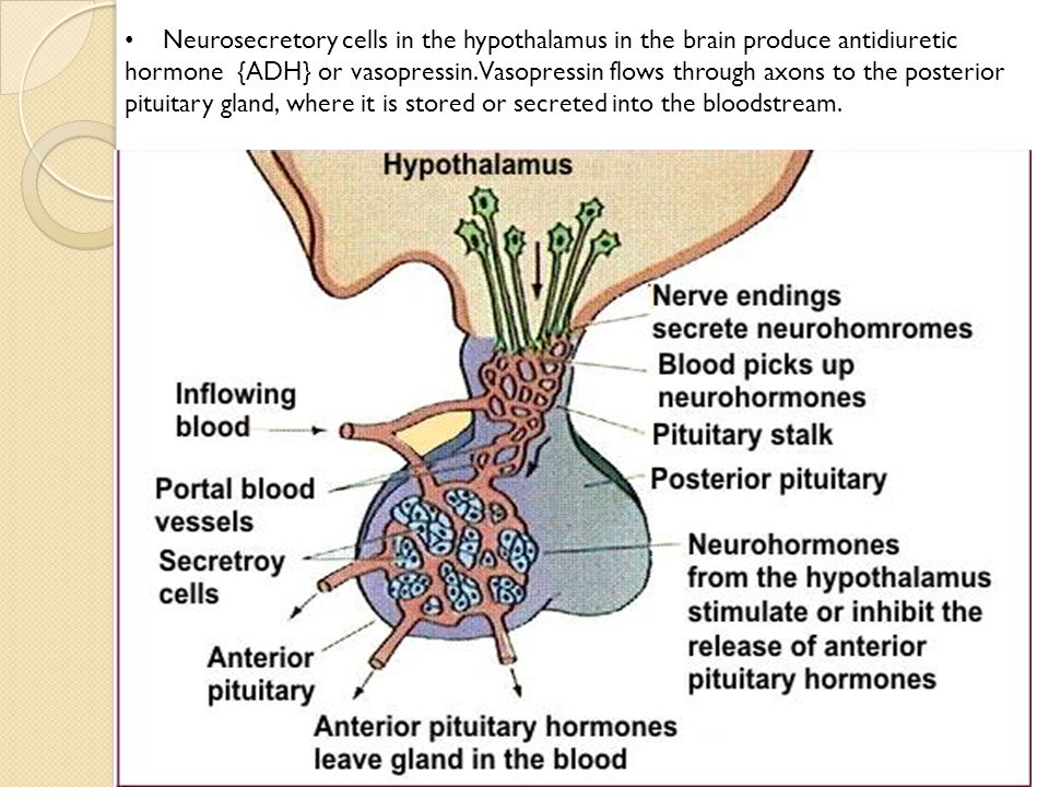 Neurosecretory cells in the hypothalamus in the brain produce antidiuretic hormone {ADH} or vasopressin.