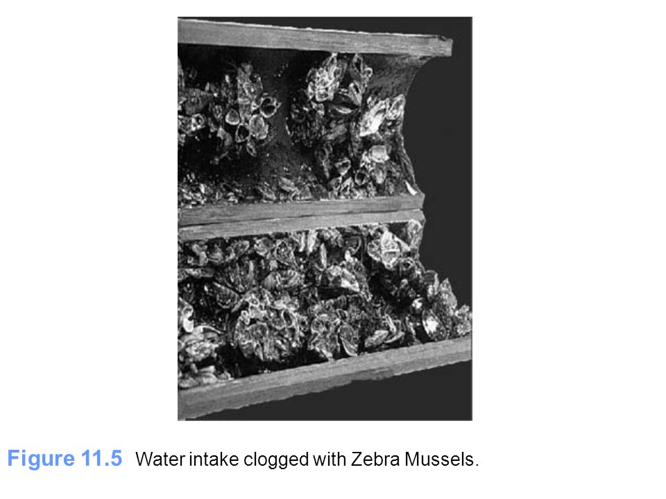 Figure 11.5 Water intake clogged with Zebra Mussels.