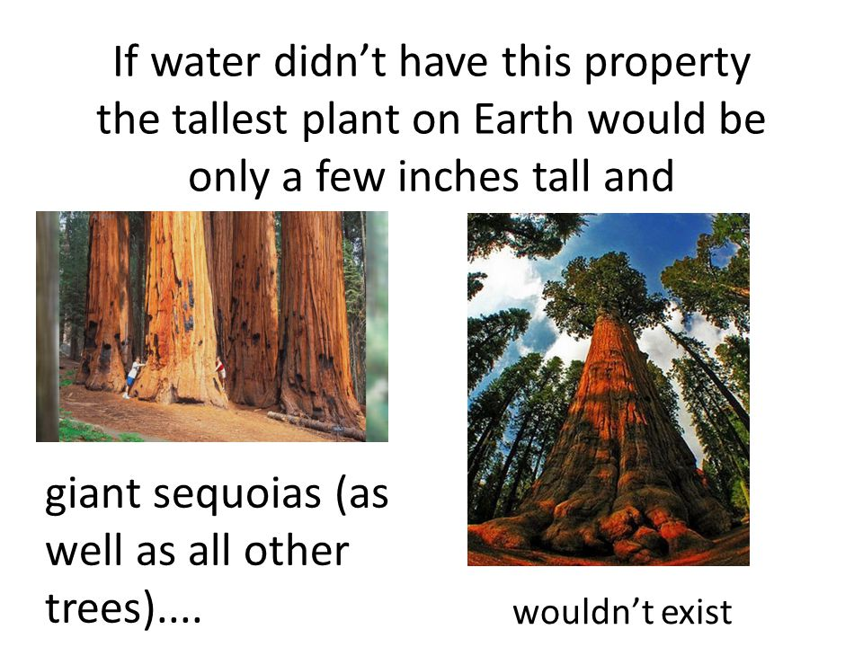 If water didn't have this property the tallest plant on Earth would be only a few inches tall and