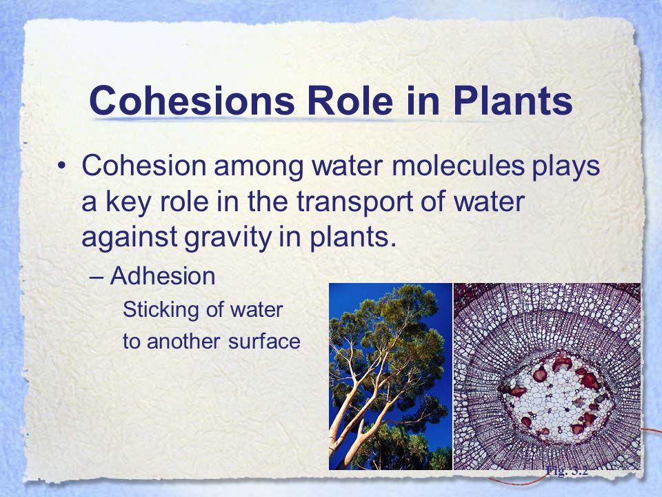 Cohesions Role in Plants