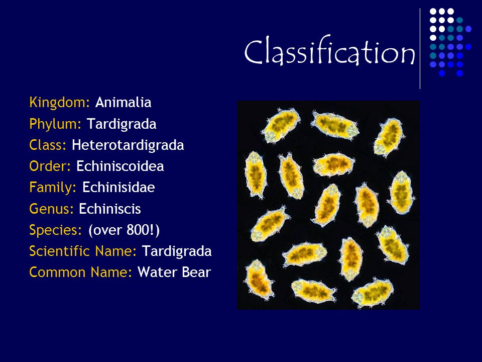 Classification Kingdom: Animalia Phylum: Tardigrada