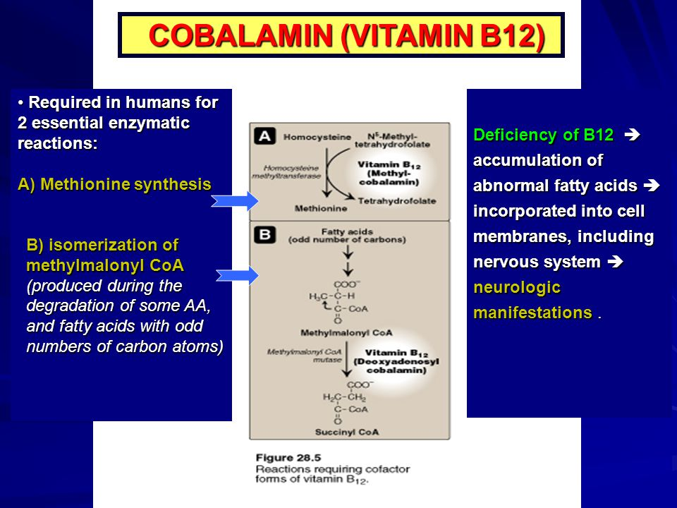 COBALAMIN (VITAMIN B12) Required in humans for 2 essential enzymatic reactions: A) Methionine synthesis.