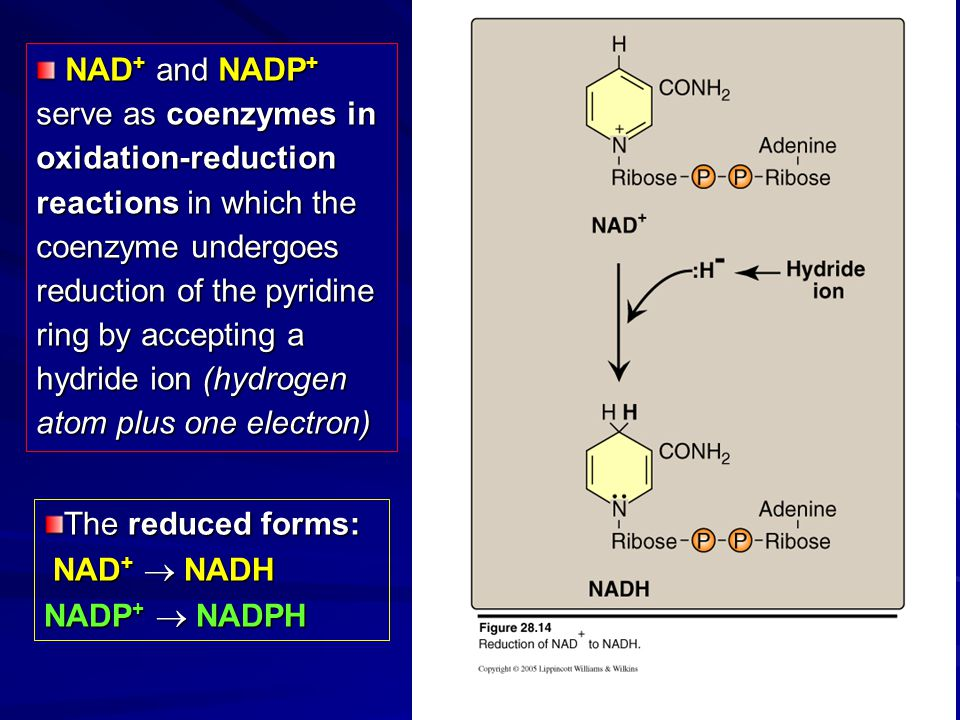NAD+ and NADP+ serve as coenzymes in oxidation-reduction reactions in which the coenzyme undergoes reduction of the pyridine ring by accepting a hydride ion (hydrogen atom plus one electron)