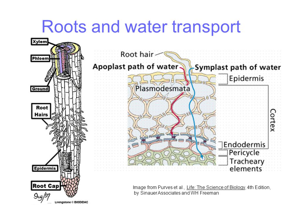 Roots and water transport