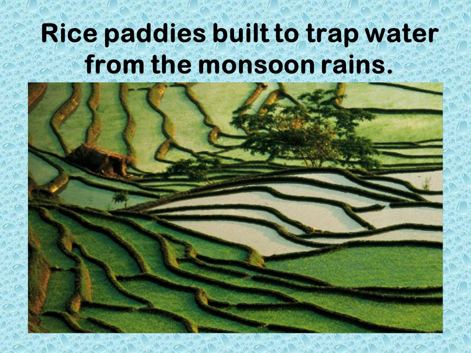 Rice paddies built to trap water from the monsoon rains.