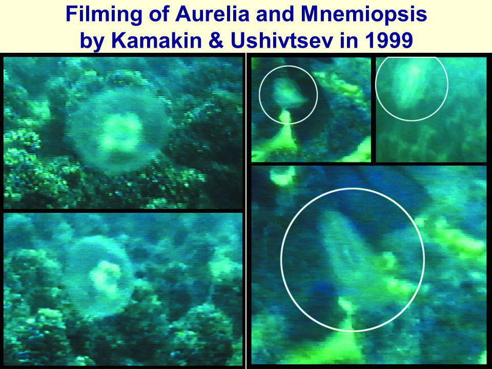 Filming of Aurelia and Mnemiopsis by Kamakin & Ushivtsev in 1999