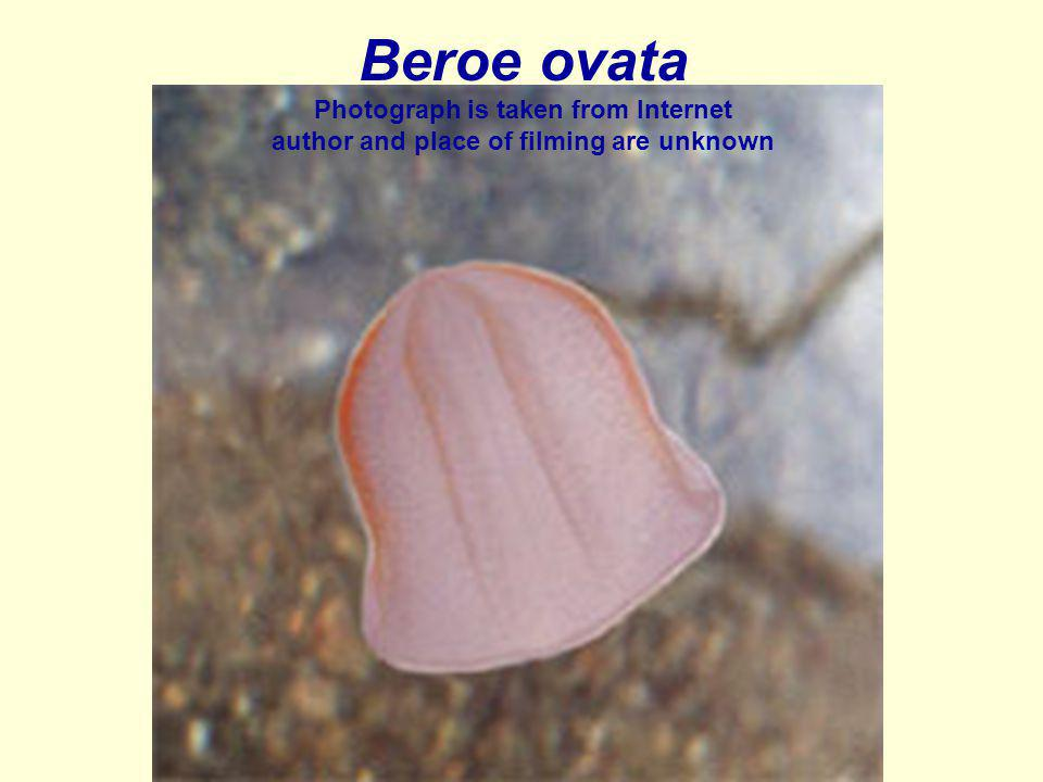 Beroe ovata Photograph is taken from Internet author and place of filming are unknown