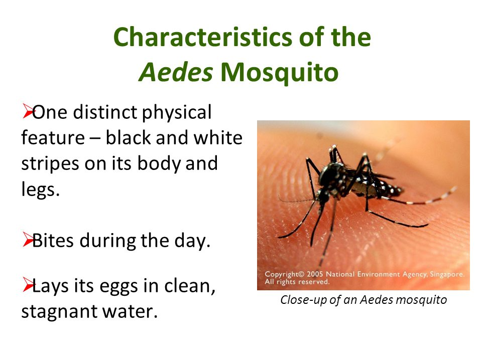 Characteristics of the Aedes Mosquito