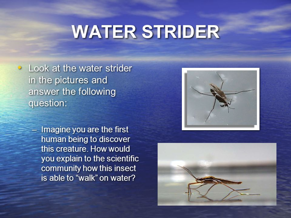 WATER STRIDER Look at the water strider in the pictures and answer the following question: