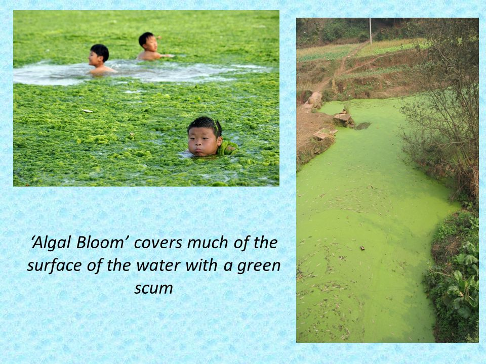 'Algal Bloom' covers much of the surface of the water with a green scum