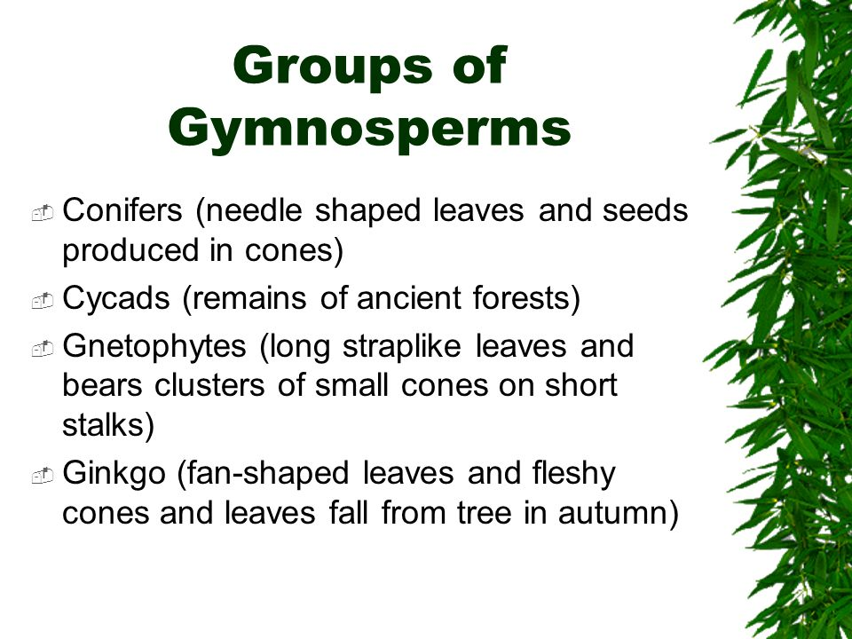 Groups of Gymnosperms Conifers (needle shaped leaves and seeds produced in cones) Cycads (remains of ancient forests)