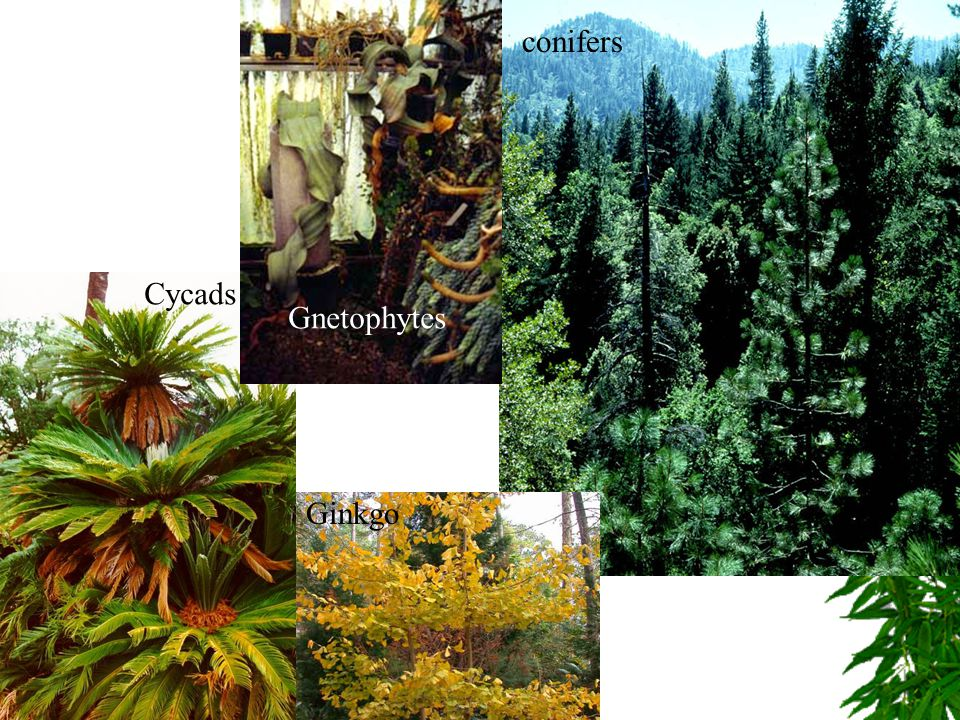 conifers Cycads Gnetophytes Ginkgo
